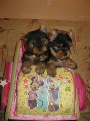 Продаются щенки Йорка  возраст 2 месяца